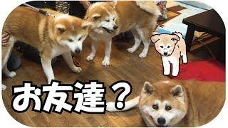 Download 秋田犬・あきたいぬ・アキタイヌ!そしてまた秋田犬パピーのらんぷが焼肉を食べに来た~~~! Video
