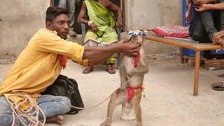 Download Funniest Monkey Drama in Indiaedy Bandar ka khel.कॉमेडी बन्दर का खेल,मदारी.Madaari tamasha funny Video