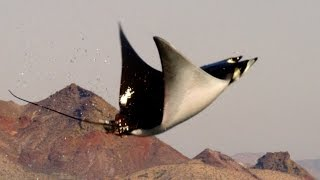 Download Mobula Rays belly flop to attract a mate - Shark: Episode 2 Preview - BBC One Video