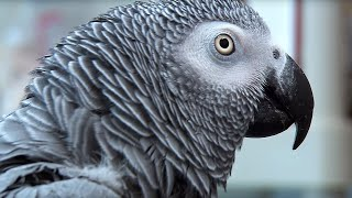 Download Einstein vs Griffin | The World's Smartest Parrots | Extraordinary Animals | Earth Video