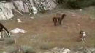 Download Llama Scares Dog Video
