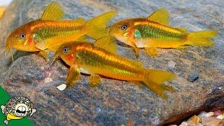 Download Orange Laser Corydoras Spawning - Aquarium Co-Op Video