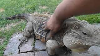 Download Lizard Greets Man like a Dog! Video