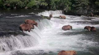 Download Brown Bears fishing at Brooks River Falls, Katmai Nat'l Pk, Alaska (HD) Video