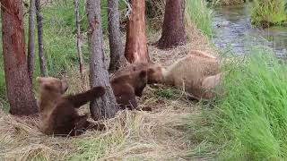 Download Three Cute Brown Bear Cubs Play and Wrestle for Six Minutes Straight Video