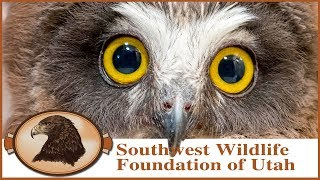 Download Rescued Saw-whet Owl babies! Cute little owls with razor sharp talons! Video