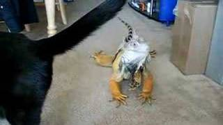 Download Mr. Wizard, my Green Iguana, comes when called! Video