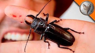 Download PINCHED! by a Giant Beetle! Video