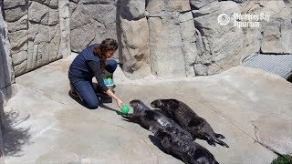 Download Fun And Games With The Sea Otters! Video