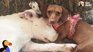 Download Pit Bull Dog Raised By 6 Dachshund Siblings - MAX + 6 | The Dodo Video