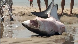 Download GREAT WHITE SHARK BEACHES IN CAPE COD Amazing Footage!!! Video
