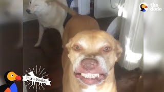 Download Pit Bull Has The Weirdest, Cutest Smile Ever | The Dodo Pittie Nation Video