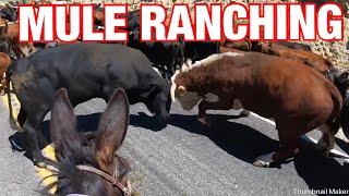Download Calf falls down drain! 25 mile mule cattle drive: Mule Ranching Vlog #3 Video