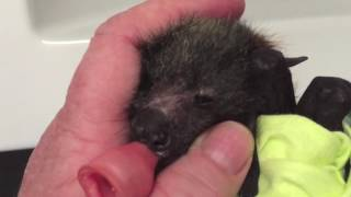 Download Baby bat squeaks blissfully: This is Eidolon Video