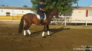 Download CIRUJANO - Basic smooth transitions PRE Stallion For Sale - TBSH Video