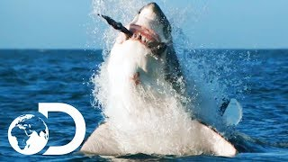 Download How Would Orca Attack And Kill A Great White? | Air Jaws: The Hunted | SHARK WEEK 2018 Video