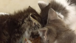 Download Kitten Close Up 2017-10-02 Video
