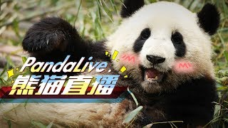 Download 24/7 HD Panda Live @ iPanda Video