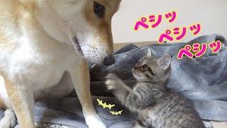 Download ついに!慎重派の柴犬が子猫ちゃんに近づいた♪-Shiba inu Riko mother of kittens- Video