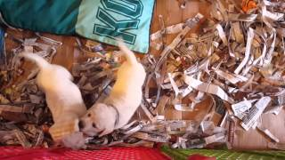 Download Labrador Retriever Puppies in Southern California Video