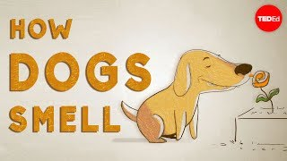 Download How do dogs ″see″ with their noses? - Alexandra Horowitz Video