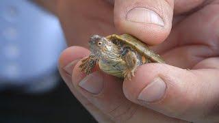 Download Baby Turtles Video