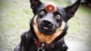 Download Dog Fails 🐶 Dogs Failing at Being Dogs [Funny Pets] Video