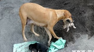 Download Dog Saves Newborn Puppies | CUTE PUPPIES Video