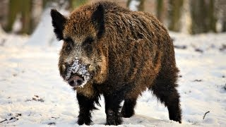 Download Hunting Giant Wild Boar in Hungary Video