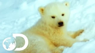 Download Mother Polar Bear And Her Cubs Come Out Of Hibernation | Wildest Arctic Video
