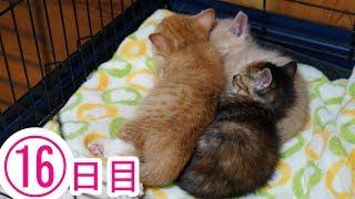 Download 遊び疲れると自分の部屋に帰っちゃう賢い子猫たち 16日目 Video