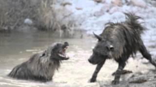 Download Brown Hyena fight 2 at Tau game Lodge Madikwe 2 Video