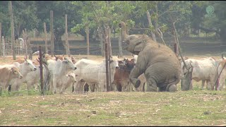 Download Baby Elephant And Cows Video