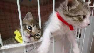 Download 大きい子猫と遊びたくて脱走する子猫だけどポンポコリンのお腹が挟まった抜けないニャン🐈 Video