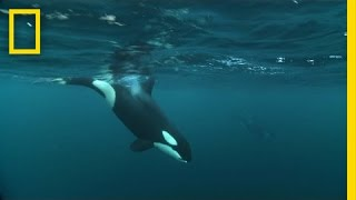 Download Watch Killer Whales and Humpbacks Hunt Together | National Geographic Video