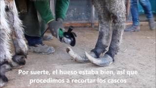 Download RESCATE DE JASMINE, LA BURRITA DE LOS CASCOS SOBRECRECIDOS Video
