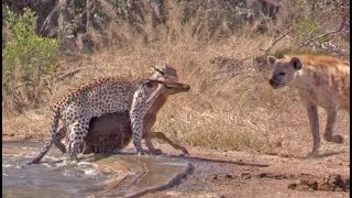 Download Hyena Indirectly Saves Impala from Leopard Video