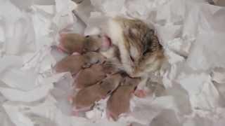 Download ロボロフスキーハムスターの赤ちゃん★生後0日から29日までの記録 roborovski hamster baby 햄스터 가 아기를 낳았다. Video