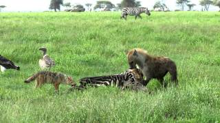 Download Hyena and Jackal Tug of War Video