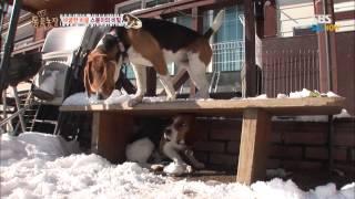 Download SBS [TV동물농장] - 비굴한 비글, 스봉이의 비밀1 Video