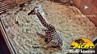 Download April The Giraffe: Start of Labor 2019 Video