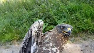 Download Добро пожаловать отсюда! Выпуск пострадавших ранее птиц в природу. Video