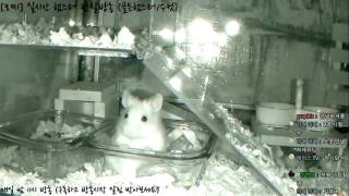Download [모찌Live/햄스터] 실시간 햄스터 관찰 방송 Hamster Live #16-12-16 Video