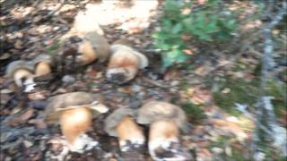 Download Boletus Aereus Julio 2014 Video