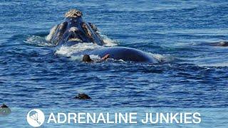 Download Daredevil Swims Close To Humpback Whale Video