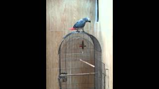 Download Parrot kurdi ( بوشؤم.ئه خؤى) Video