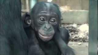 Download Zoo Stuttgart - Wilhelma: Bonobomama Banbo mit ihrem Baby Alima Video