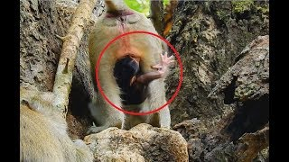 Download So pity newborn baby monkey just born, Young mom not knew how to take care -Baby very scare. Video