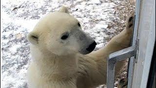 Download A Polar Bear Moment Video