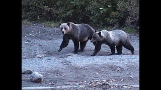 Download AGGRESSIVE GRIZZLY AT TROUT LAKE BC Video